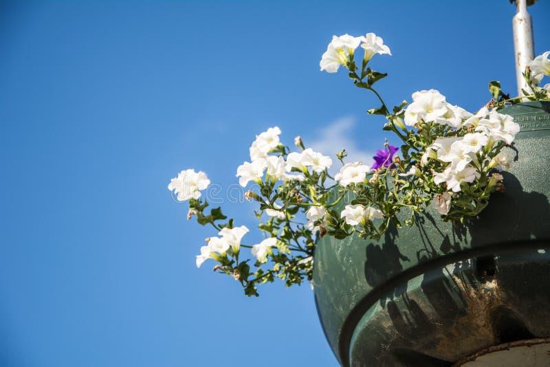 Les fleurs rouges de géranium de jardin, se ferment vers le haut du tir/des fleurs de géranium/fleurs de Lavatera/pétunia d'été d photographie stock libre de droits