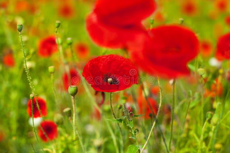 Les fleurs rouges de pavot fleurissent sur la fin brouillée de fond de bokeh d'herbe verte, beau champ de pavots en fleur le jour photos stock