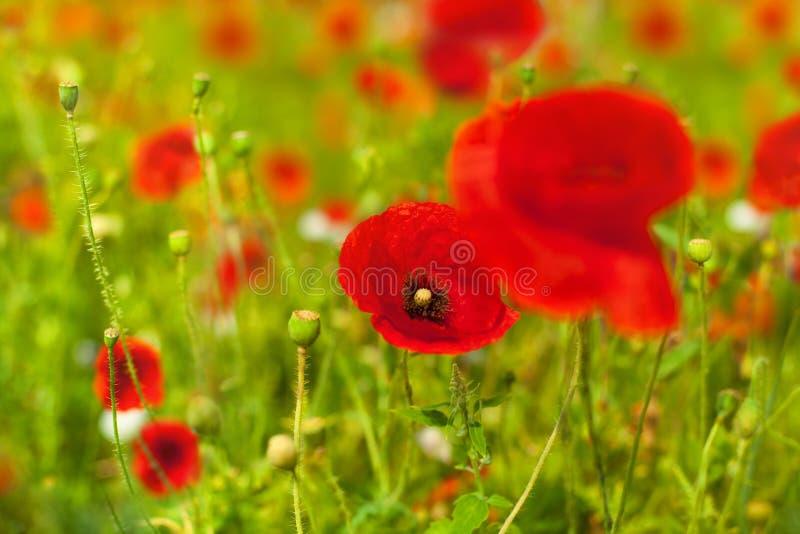 Les fleurs rouges de pavot fleurissent sur la fin brouillée de fond de bokeh d'herbe verte, beau champ de pavots en fleur le jour photo libre de droits