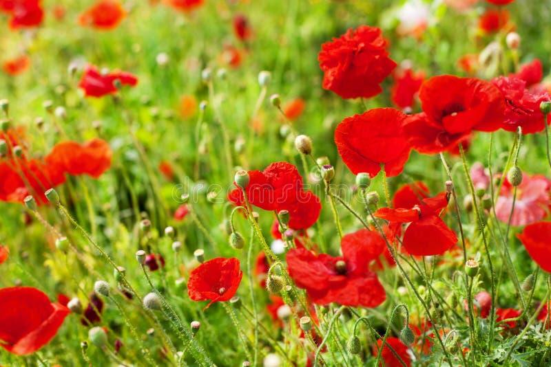 Les fleurs rouges de pavot fleurissent sur la fin brouillée de fond de bokeh d'herbe verte, beau champ de pavots en fleur le jour photographie stock