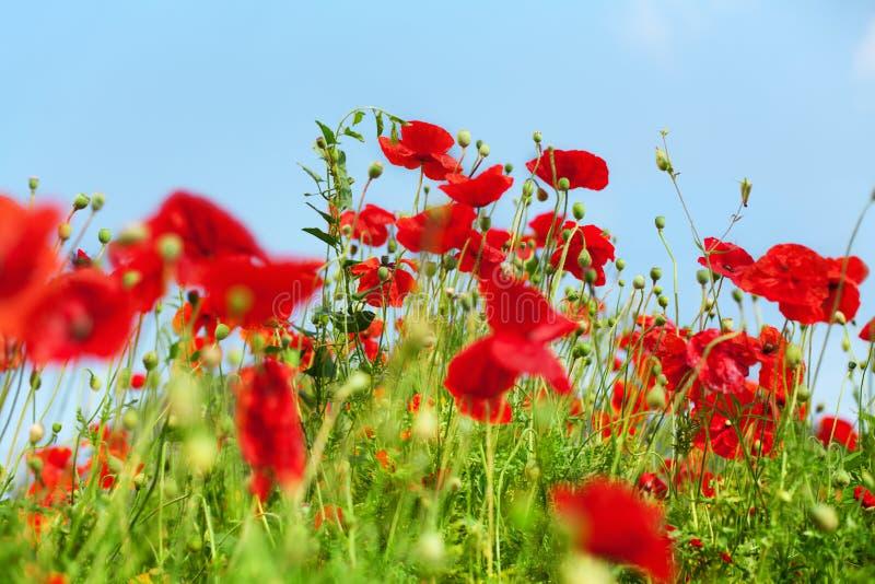 Les fleurs rouges de pavot fleurissent sur la fin brouillée de fond d'herbe verte et de ciel bleu, beau champ de pavots en été en photo libre de droits
