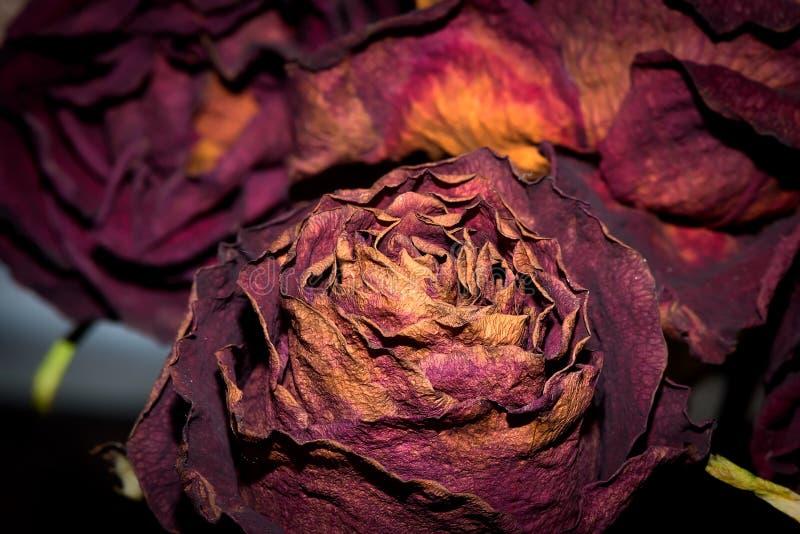 Les fleurs sèches ont détaillé la macro photographie Les roses sèches dans l'éclair s'allument photo libre de droits