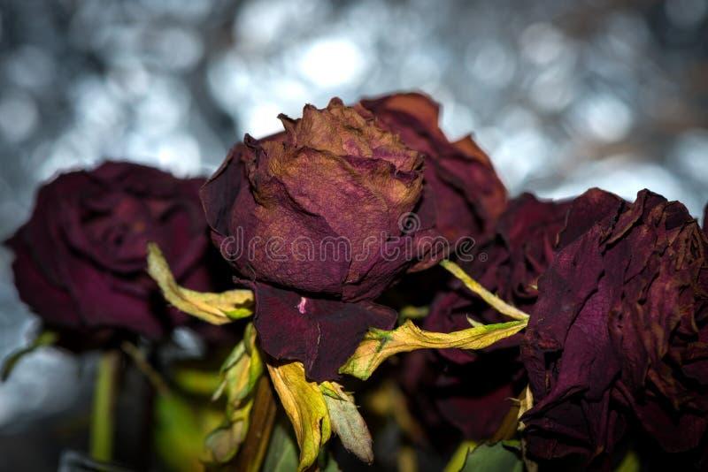 Les fleurs sèches ont détaillé la macro photographie Les roses sèches dans l'éclair s'allument image libre de droits