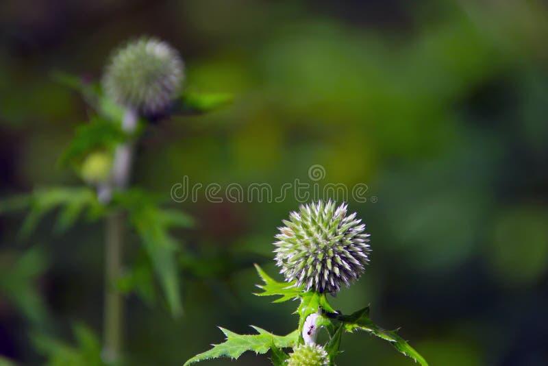 Les fleurs sphériques de chardon se ferment  image libre de droits