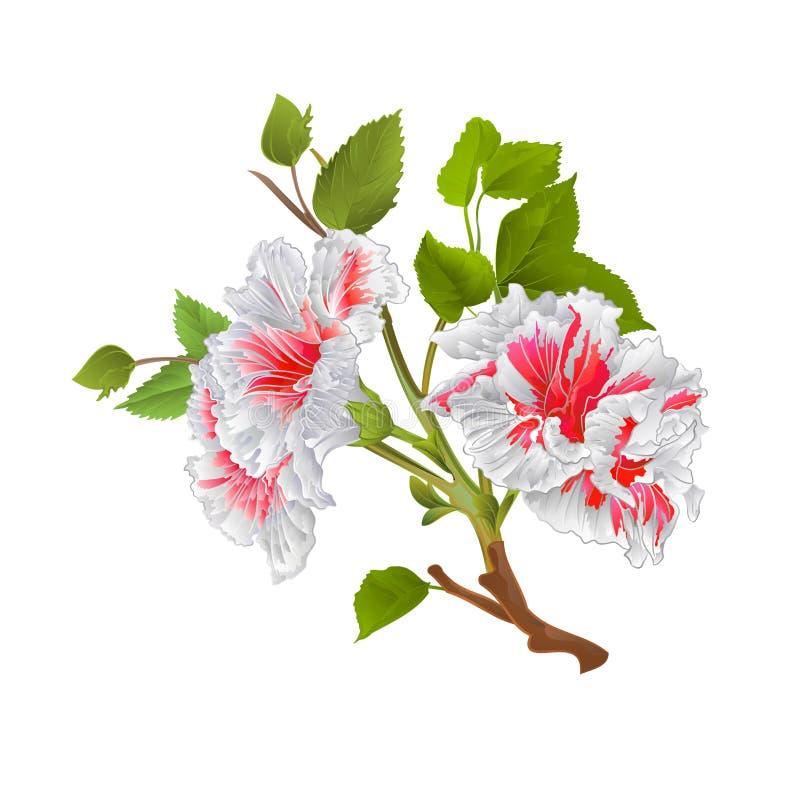 Les fleurs tropicales de ketmie blanche de branche sur un vintage blanc de fond dirigent l'illustration botanique editable illustration de vecteur