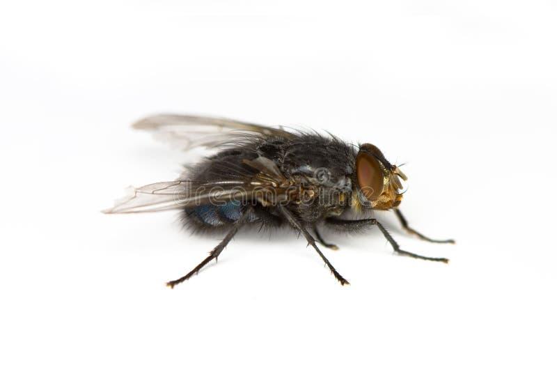 Les flys photo stock