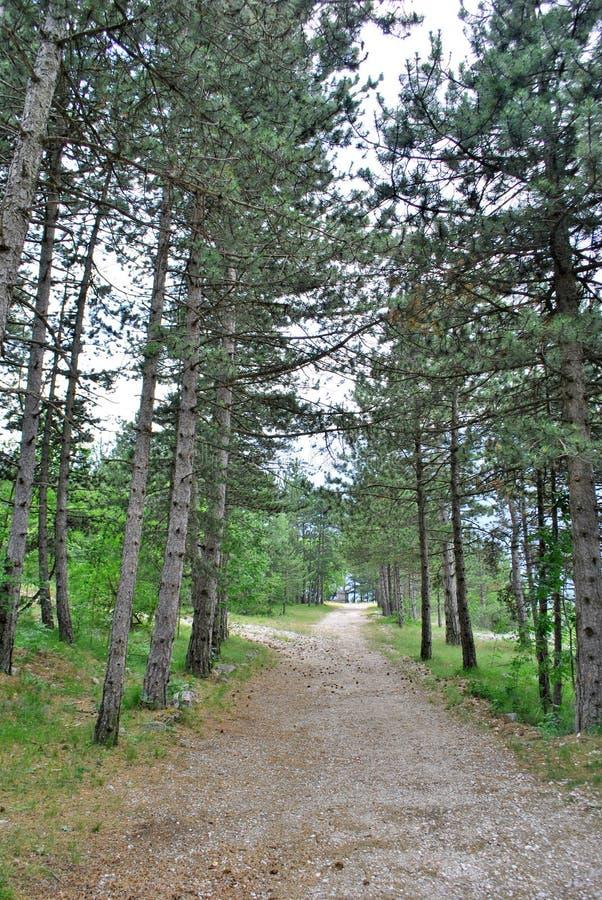 Les forêts de pin image libre de droits