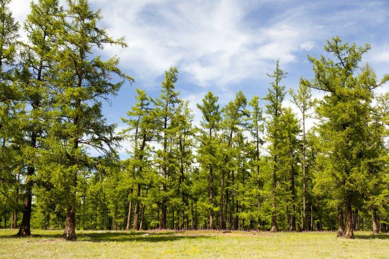 Les forêts du nord de la Mongolie images stock