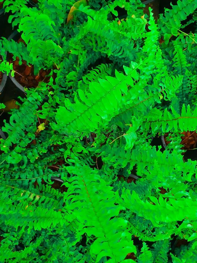 Les foug?res de Beautyful laisse ? feuillage vert le fond floral naturel de foug?re images libres de droits