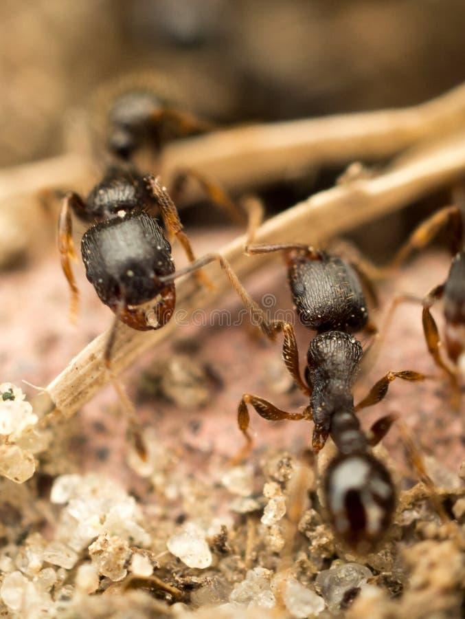 Les fourmis photographie stock