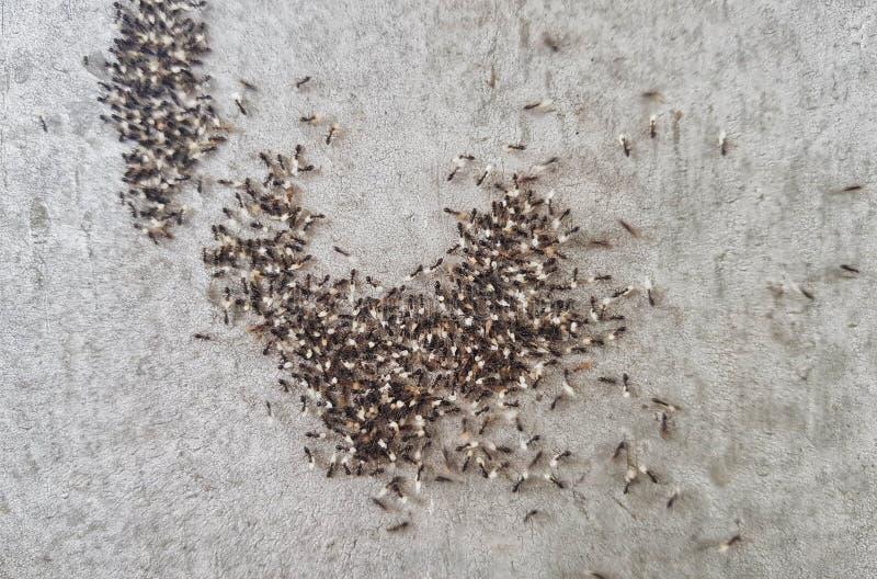Les fourmis déplacent les oeufs, les larves et la nourriture de la colonie à un nouveau nid image stock