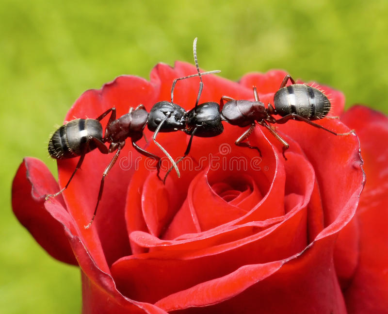 Les fourmis embrassent sur se sont levées image libre de droits
