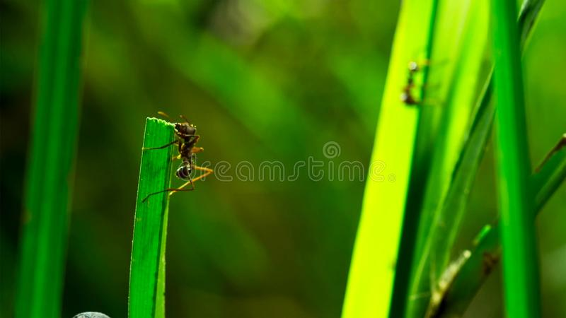 Les fourmis minuscules de herbe-coupeur coupent la lame et placentes dedans au jardin du champignon L'herbe putréfiée alimente le image stock