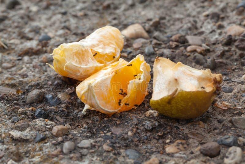 Les fourmis rampent au-dessus des restes de la nourriture après des personnes, nature absorbe photo stock