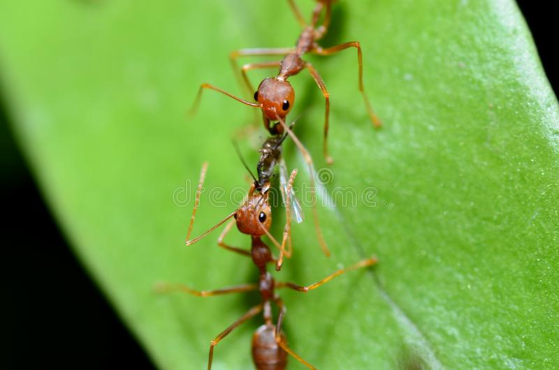 Les fourmis rouges travaillent ensemble pour apporter la nourriture au nid/à fourmilière images libres de droits