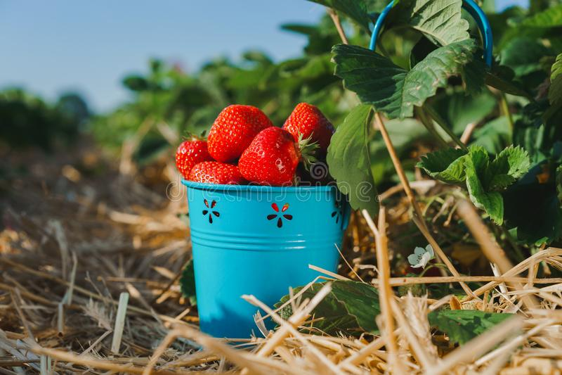 Les fraises délicieuses mûres sélectionnées fraîches dans un metall bleu bucket près du feuillage vert photo libre de droits