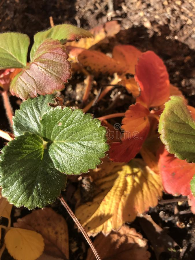 Les fraises d'automne au soleil photos libres de droits