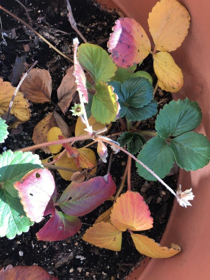 Les fraises d'automne dans le pot en terre cuite image libre de droits
