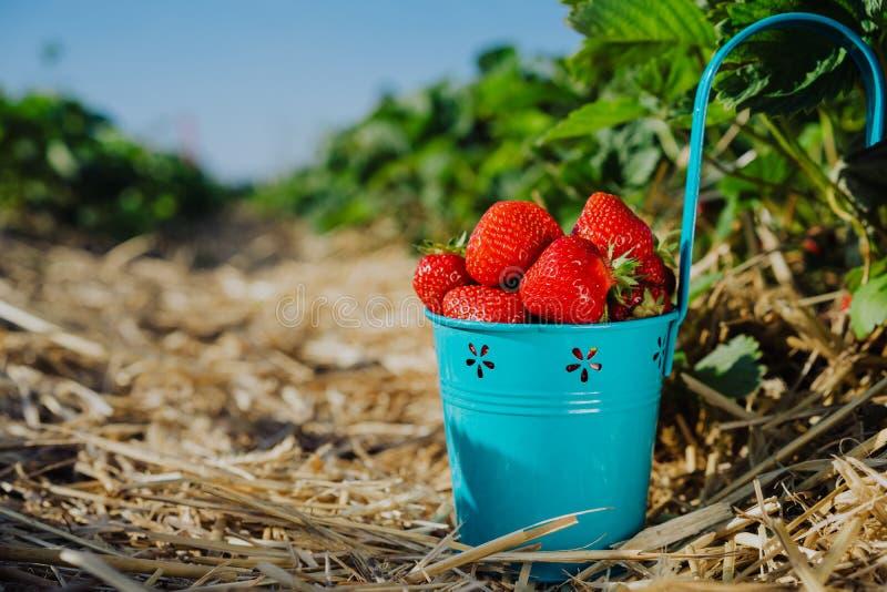 Les fraises fraîches de sélection dans un seau bleu sur la fraise mettent en place photographie stock
