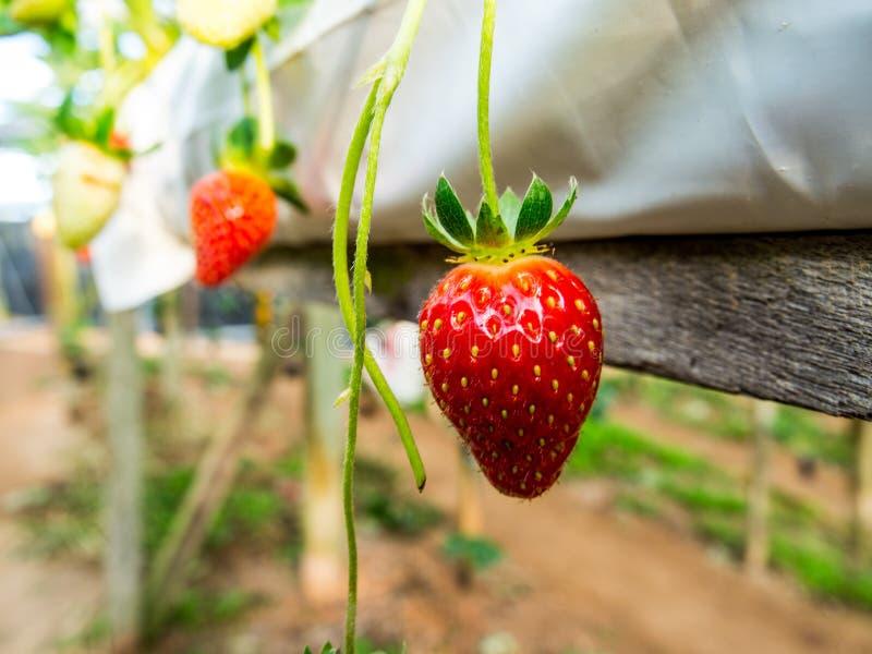 Les fraises fraîches dirigent de l'arbre photo libre de droits