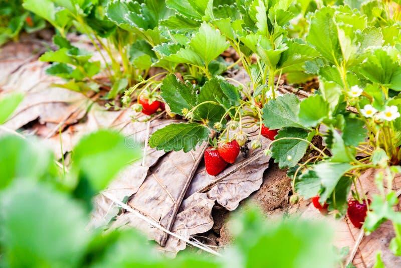 Les fraises fraîches porte des fruits sur la branche à la lumière de matin et image libre de droits