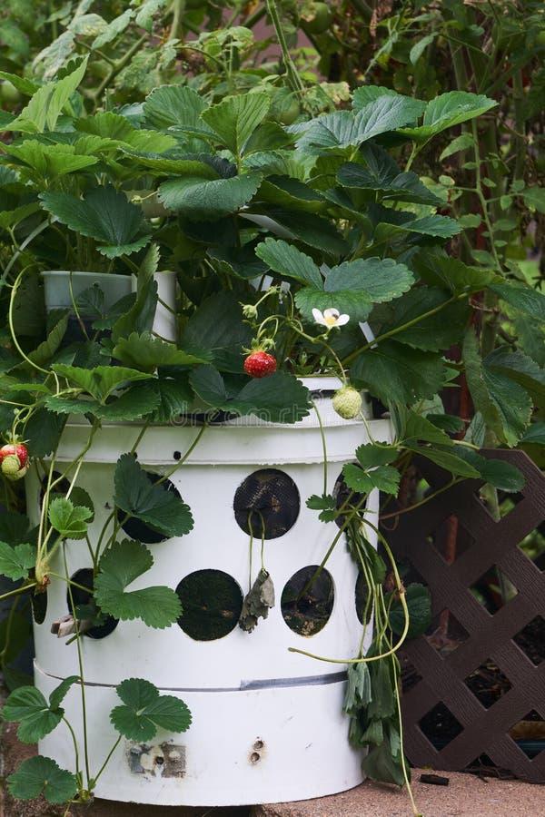 Les fraises gagnent de la place dans les petits jardins images stock