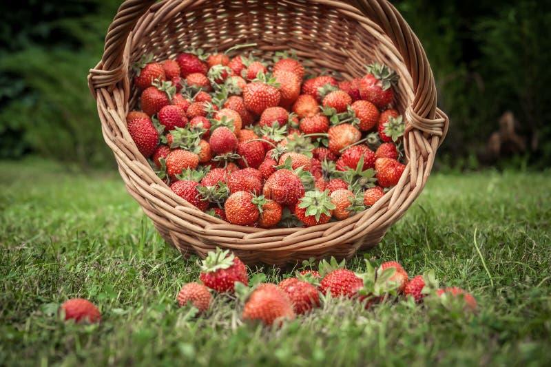 Les fraises mûres fraîches cultivent dans le panier en osier dispersé sur l'herbe comme nourriture et fond d'agriculture photo stock