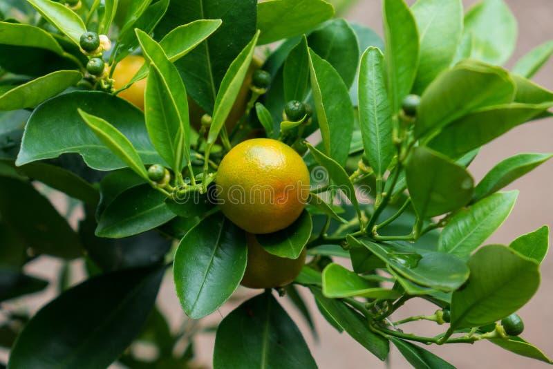 Les fruites d'agrume sur une branche avec les feuilles vertes photographie stock