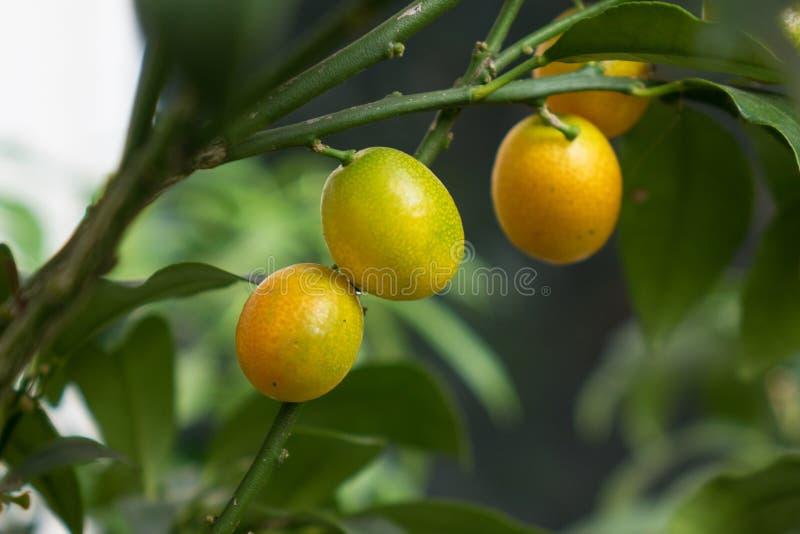 Les fruites d'agrume sur une branche avec les feuilles vertes photographie stock libre de droits
