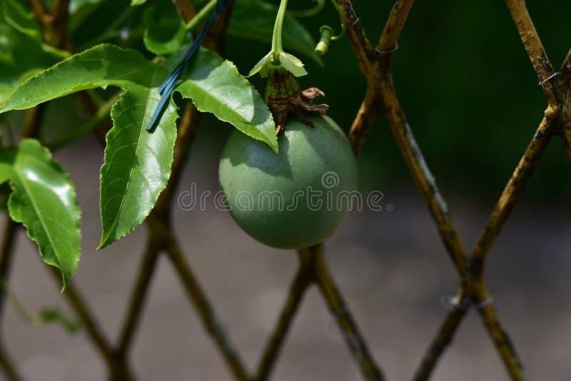 Les fruits bons de passiflore se ferment au soleil photos stock