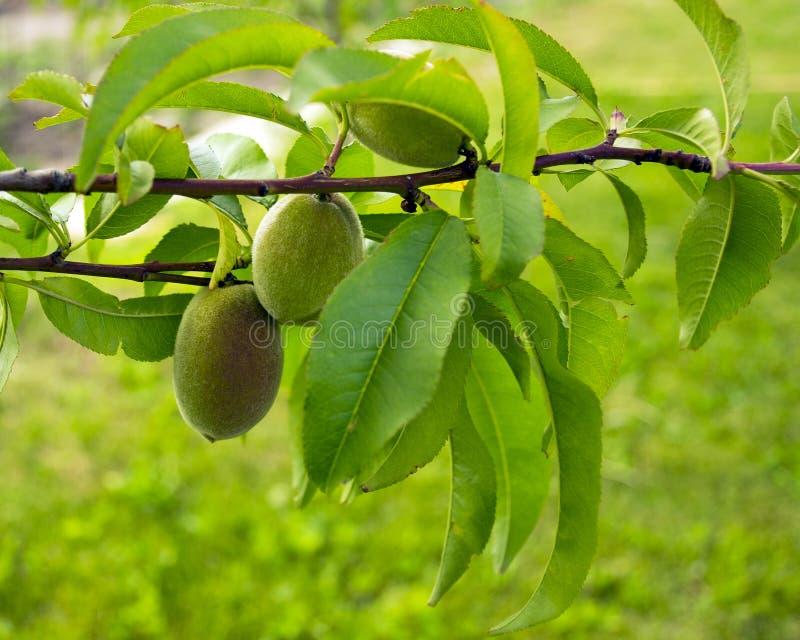 Les fruits de l'abricot vert se développent sur une branche dans le jardin Jeune abricot non mûr vert photo libre de droits