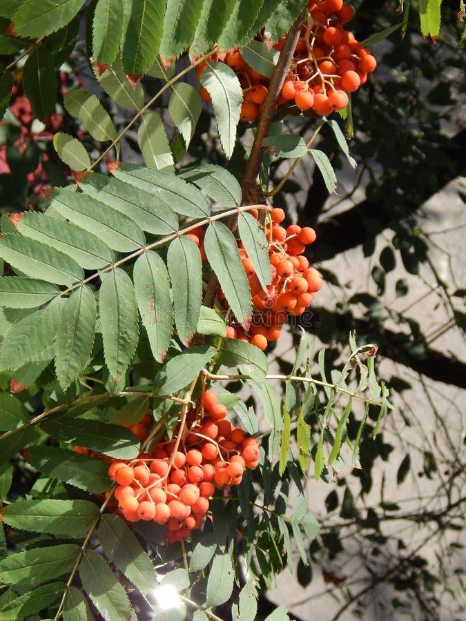 Les fruits de la cendre de montagne sont comme de petits rubis, alimentant des oiseaux d'hiver image stock