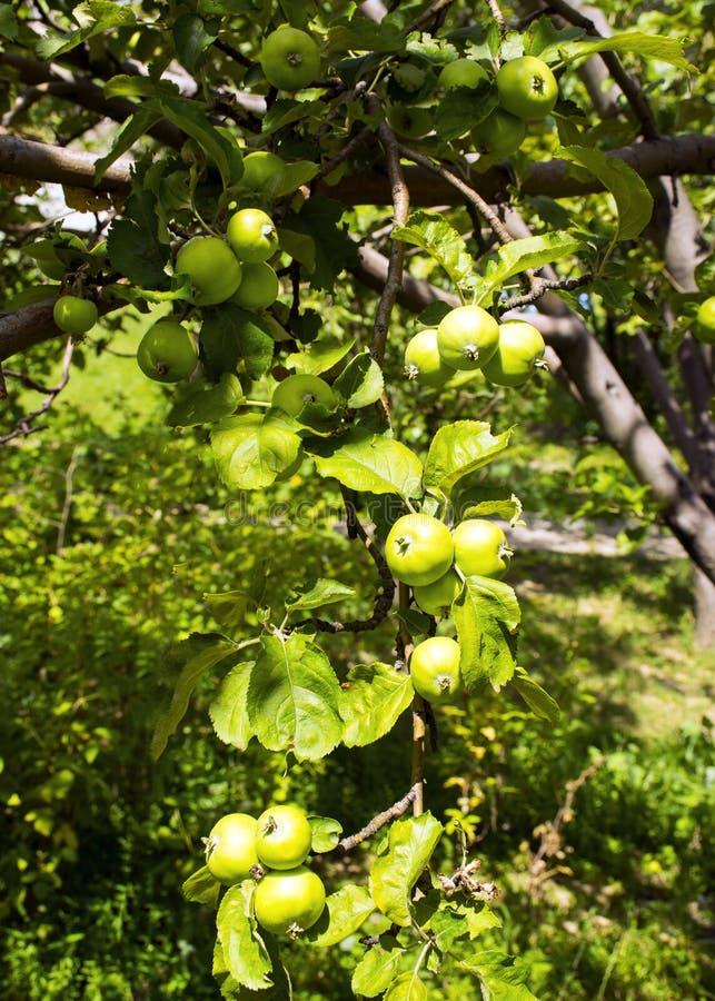 Les fruits de la pomme verte se développent sur une branche dans le jardin Jeune pomme non mûre verte photos stock