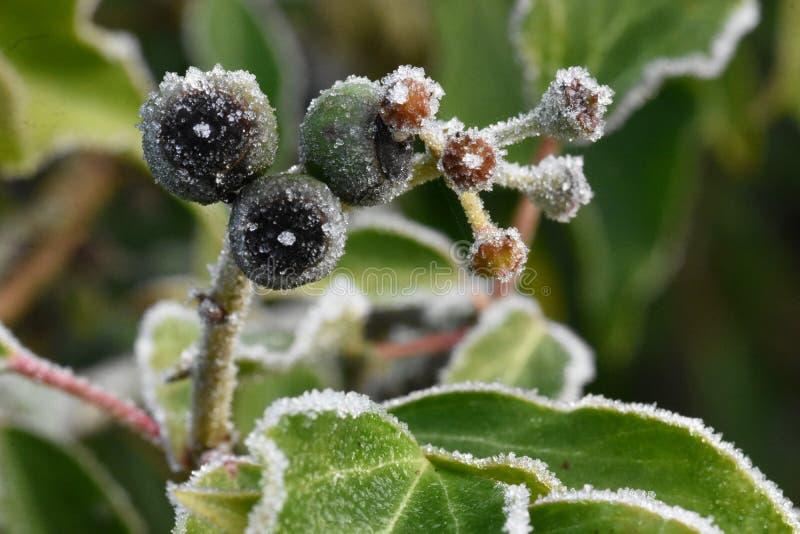 Les fruits verdâtres-noirs mûris d'hiver du lierre - hélice de Hedera photos libres de droits