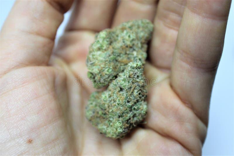 Les fureteurs rêvent la fleur médicale de cannabis dans la paume femelle photos libres de droits