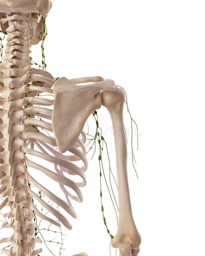 Les ganglions lymphatiques axillaires illustration de vecteur
