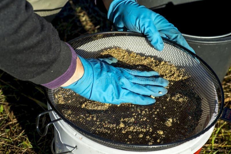 Les gants de pêcheur tamise l'amorce au travers du tamis dans le seau photographie stock libre de droits