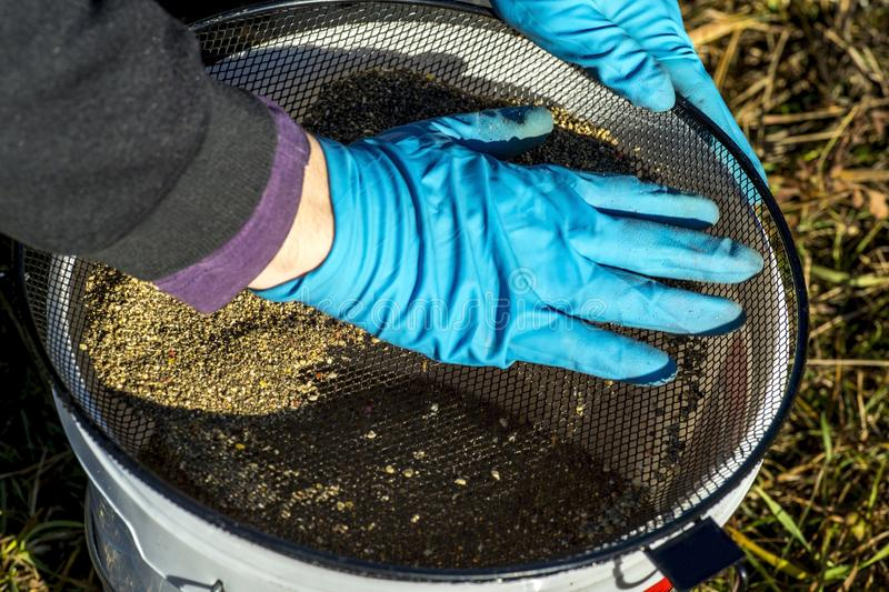 Les gants de pêcheur tamise l'amorce au travers du tamis dans le seau image libre de droits