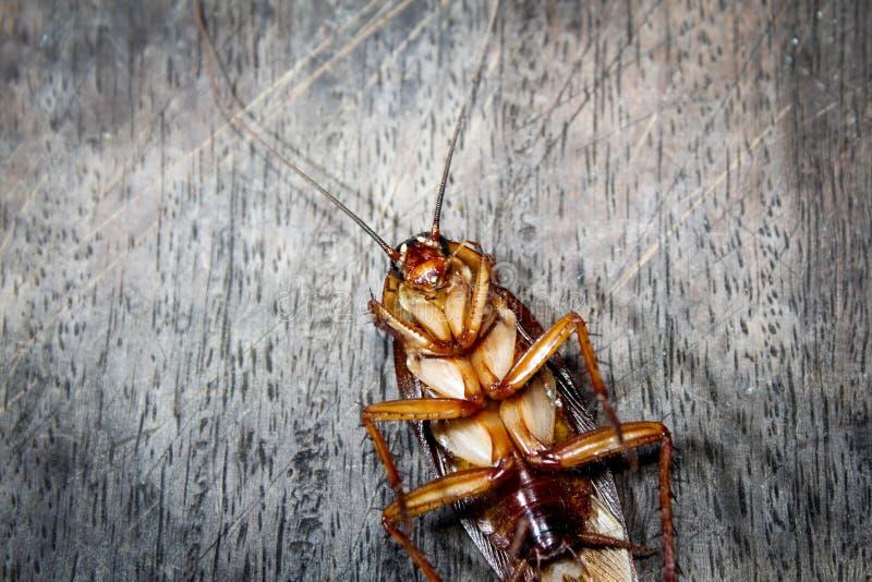 Les gardons se trouvent des morts sur le plancher en bois, cancrelat mort, étroit vers le haut du visage, se ferment vers le haut photo stock