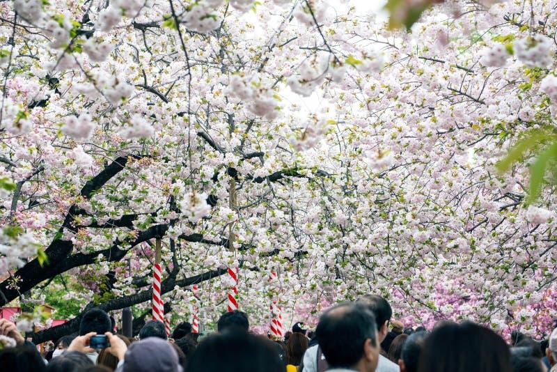 Les gens apprécient des fleurs de cerisier (Sakura) en parc d'Ueno, Tokyo photos libres de droits