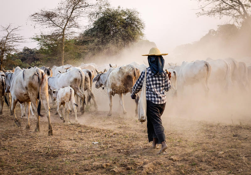 Les gens avec les vaches entrant à la maison dans Bagan, Myanmar image libre de droits