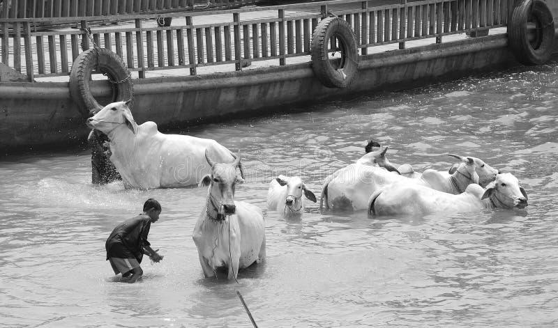 les gens lavent leurs vaches photo stock
