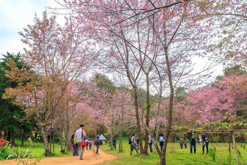 Les gens marchant en fleur rose Sakura chez Doi Luang Chiang Dao, Chaingmai, Thaïlande photos stock