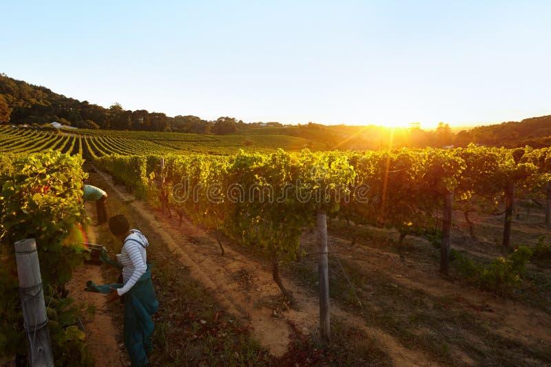 Les gens moissonnant des raisins dans le vignoble images stock