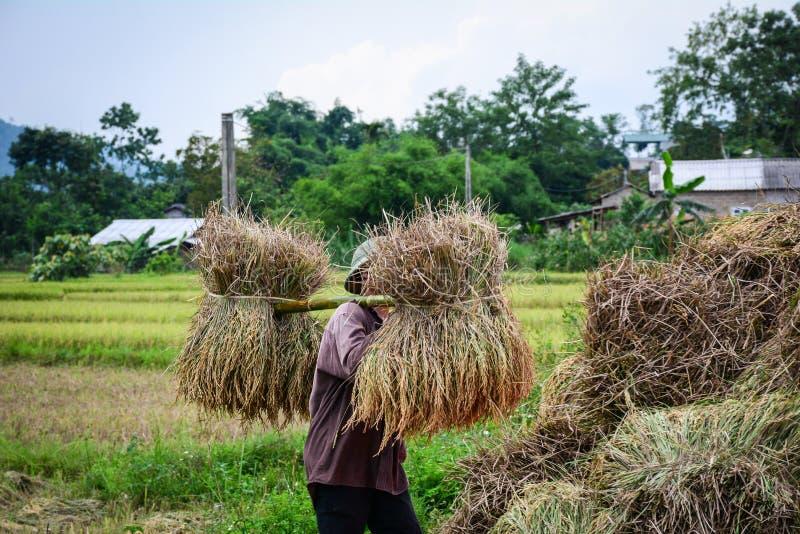 Les gens moissonnant le riz dans le nord du Vietnam photos libres de droits