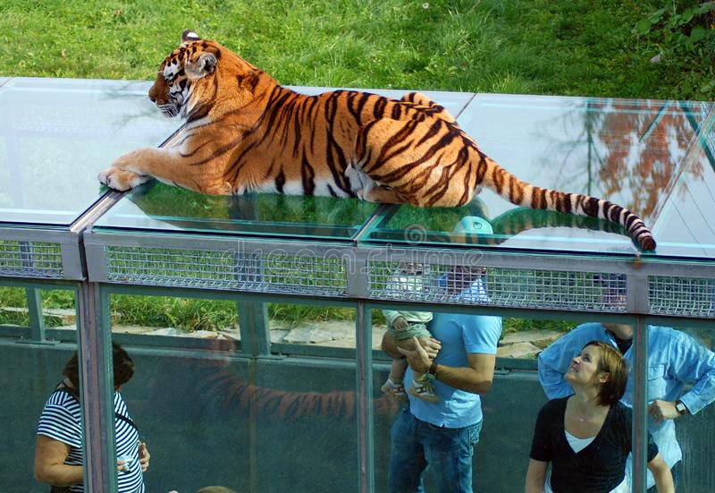 Les gens observent le tigre dans les tunnels en verre photo libre de droits