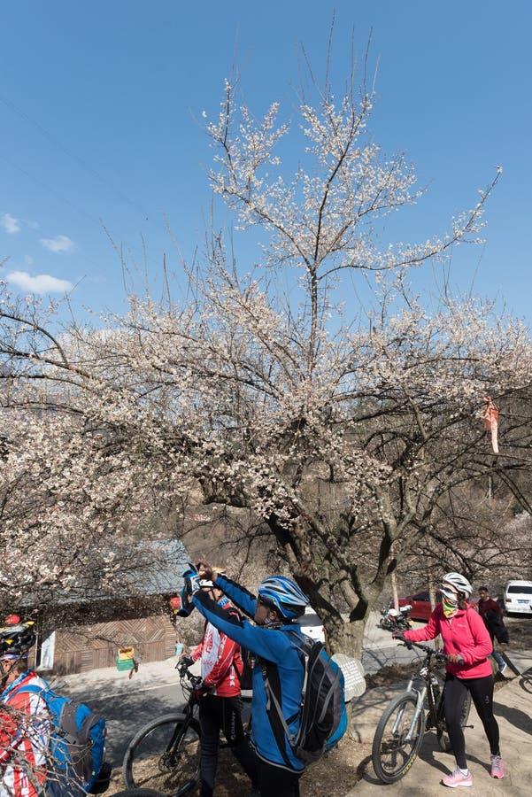 Les gens ou les touristes avec des vélos de montagne par un arbre de floraison photos stock