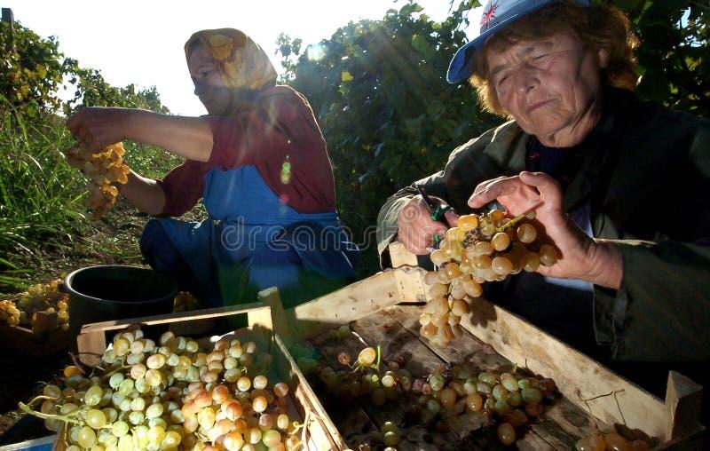 Les gens sélectionnant des raisins à Plovdiv photos libres de droits