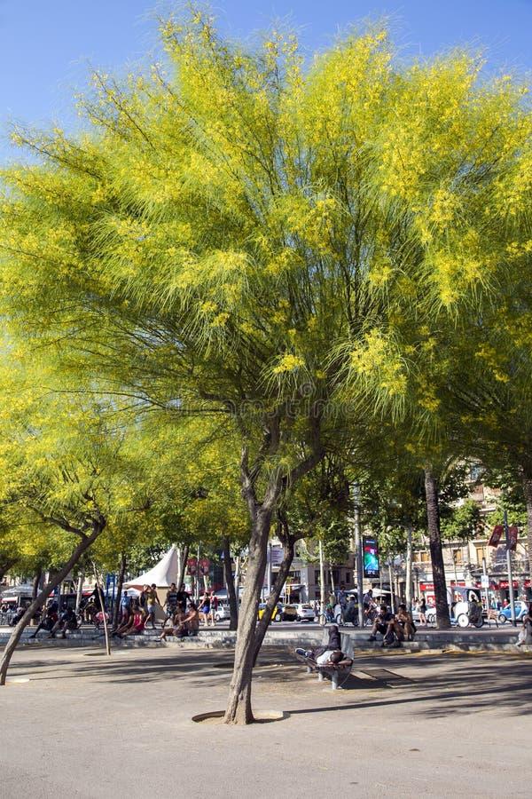 Les gens se reposant dans les arbres fleurissants Ratama d'ombre photos stock