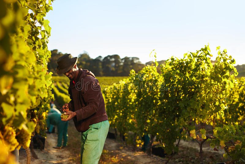 Les gens travaillant dans la vigne photos stock